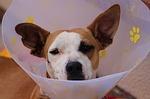 Hund mit Halskrause klein