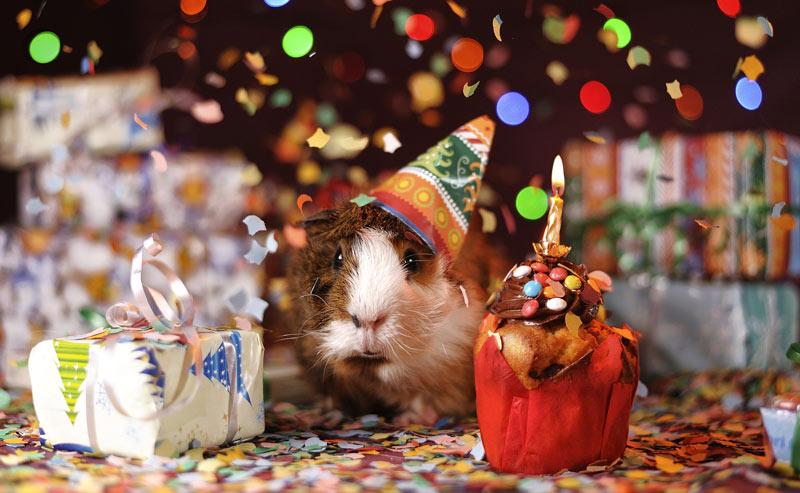 guinea-pig-1969698_1920.jpg